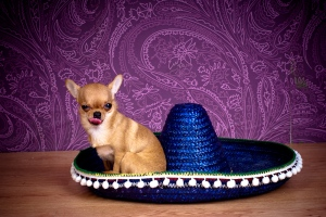 Чихуахуа Оливия и шляпа